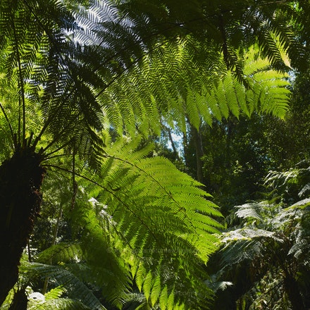 Rainforest tree-fern - Australian National Botanic Gardens