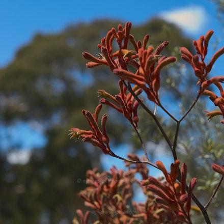 Kangaroo Paw - Australian National Botanic Gardens