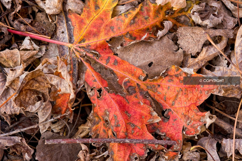 Decaying leaf - Crosby Park - St. Paul, MN