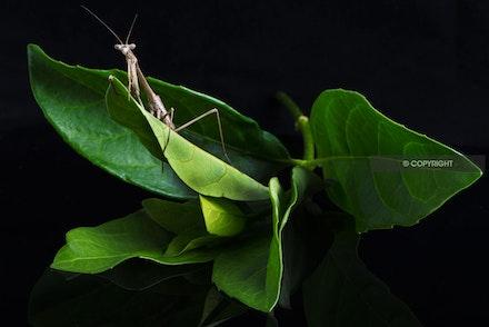 2 - Praying Mantis