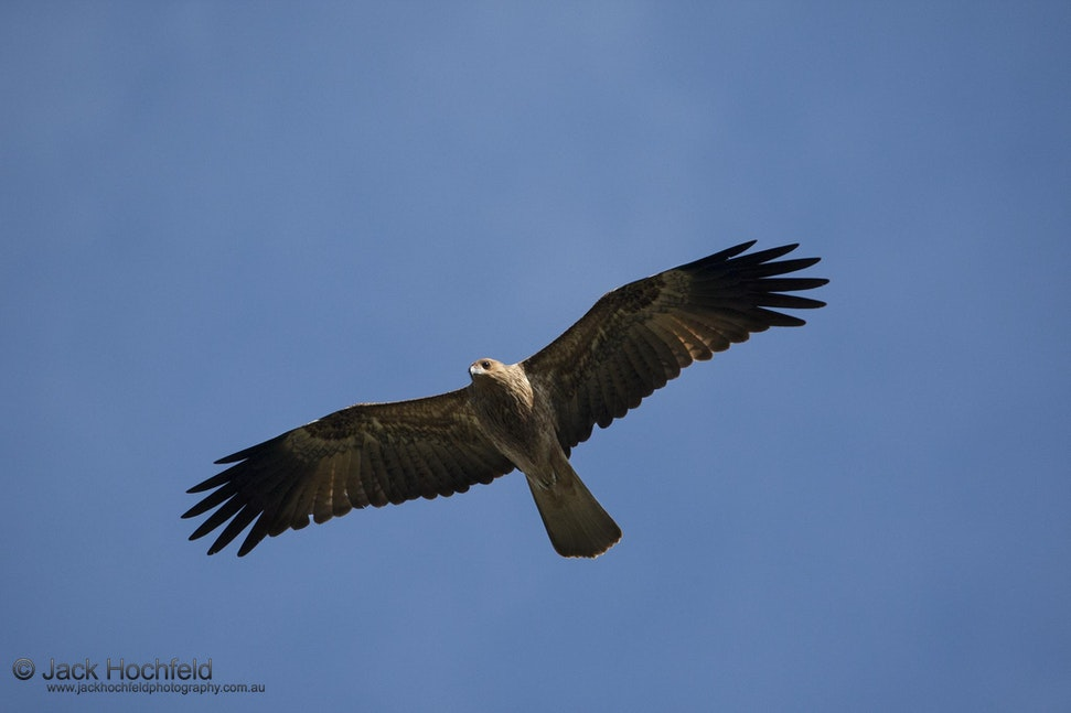 Whistling kite, Arnhemland - Whistling kite. Mount Borradale, Arnhemland, Northern Territory