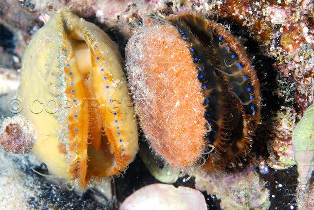 Blue eyed scallops