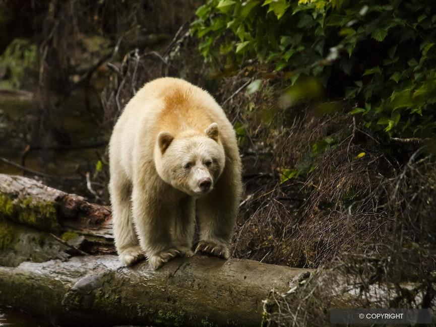 Big Blonde - Spirit bear walking on a log in the Great Bear Rainforest, British Columbia, Canada