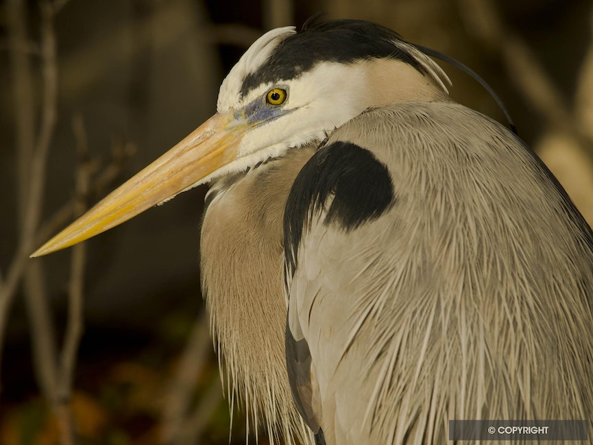 Florida Keys Native - Spencer, the Little Palm Island resident great blue heron, head & shoulders