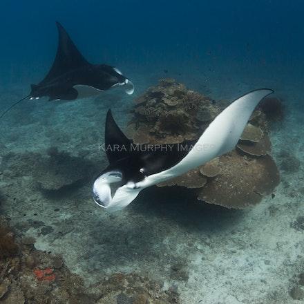 Cleaning station 3, LEI - Reef manta rays (Manta alfredi) swim around a cleaning station on Lady Elliot Island, Australia.