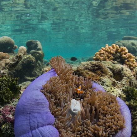 Wayag underwater, Raja Ampat - Vibrant anemone and anemonefish in the shallows of Wayag Island, northwestern Raja Ampat
