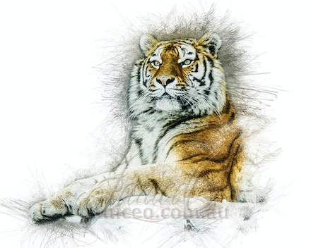 Something this way Comes - Tigers are powerful nocturnal hunters that travel many miles to find buffalo, deer, wild pigs, and other large mammals. A Bengal...