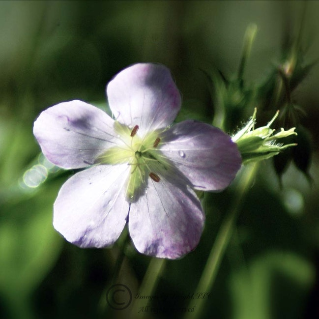 purpleFlwr 004