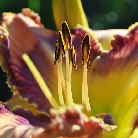 Day Lily Greeting the Sun