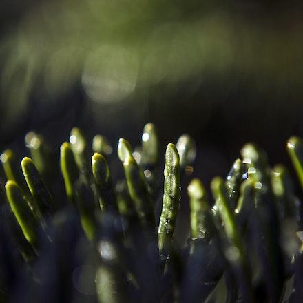 Spruce Needles in the Dark