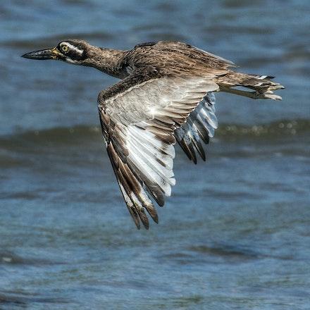 Beach stone curlew, Esacus magnirostris - Beach stone curlew, Esacus magnirostris, birds of wet tropics