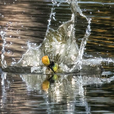 Rainbow Bee Eater, Merops ornatus - Rainbow Bee Eater, Merops ornatus