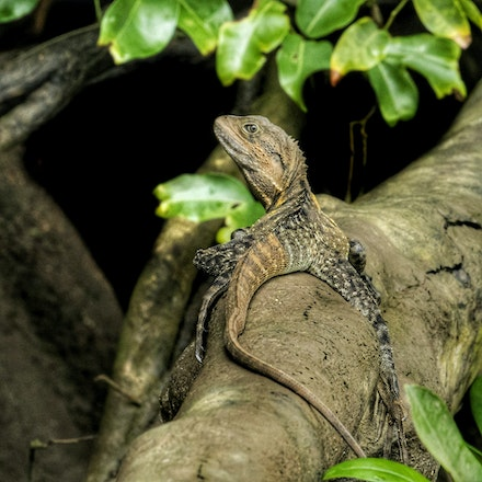 Eastern Water Dragon - Eastern water dragon, Intellagama lesueurii