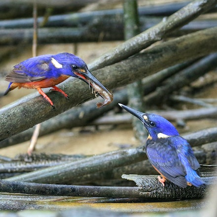 Prawns for breakfast . Azure kingfisher with kid
