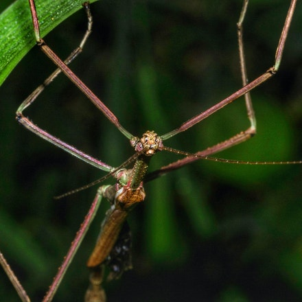 Stick Insect - Stick Insect Males are smaller