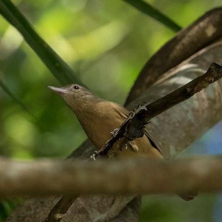 Little Shrike-thrush (Colluricincla megarhyncha) - (press for more images)