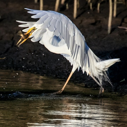 Great Egret, Ardea alba - Great Egret, Ardea alba