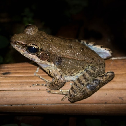 Australian Woodfrog, Hylarana daemeli - Australian Woodfrog, Hylarana daemeli