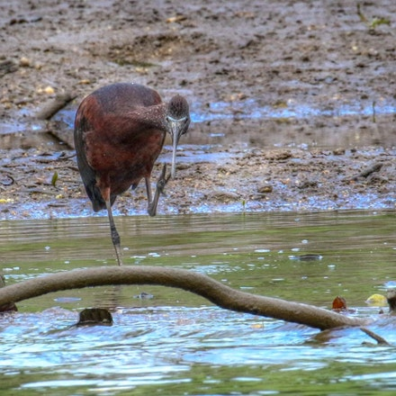 Glossy Ibis , Plegadis falcinellus - Glossy Ibis , Plegadis falcinellus